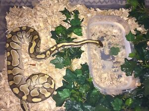 Breeding pair ball pythons Edmonton Edmonton Area image 2