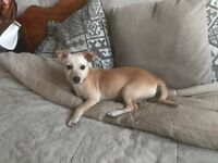 Female Chihuahua cross with Jack Russell