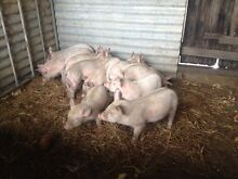 Large White Weaner Pigs Port Macquarie Port Macquarie City Preview
