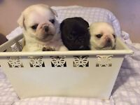 Pug puppies for sale only 1 white boy and 1 platinum girl left