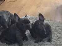 Beautiful litter blue French bulldog ready to leave for their forever loving homes