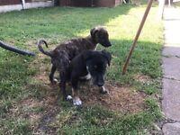 saluki cross pups for sale