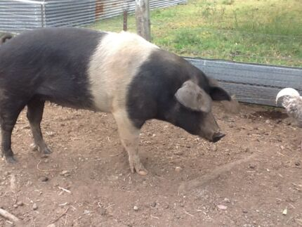 Pigs (Sows) for sale $150 each Bootawa Greater Taree Area Preview