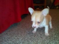 Lovely female shrot haired Chihuahua Pup