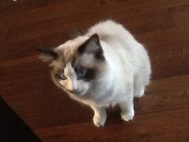 Pedigree Ragdoll Kitten For Sale
