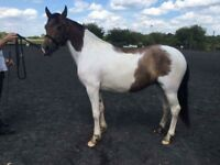 Mare for loan as field companion