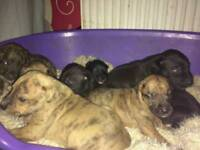 Bull Greyhounds puppies
