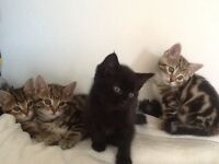 For Sale Stunning Bengal X Russian Blue Kittens Complete With Health Checks