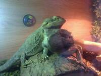 Male and female bearded dragon for sale no setup