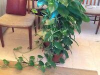 2x indoor house plants scindapsus (money plant) mosspole