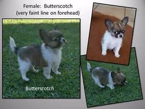 Pedigree Chihuahua puppy - long coat female Toowoomba Toowoomba City Preview