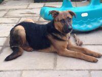 German Shepherd x Boxer - 6 years old