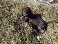 Dachshunds Female puppies