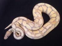 Royal Python Male Banana Snake Ball