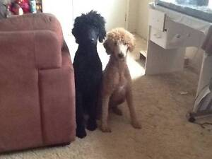 For Sale: Standard Poodle Puppies Monto North Burnett Area Preview