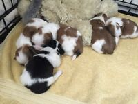shih tzu pups for sale