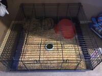 Mini lion x lop head and cage