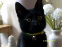 MISSING - BLACK CAT 6 MONTHS OLD, CLYDEBANK (Whitecrook Street)