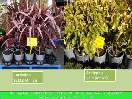 Plants & Flowers - weekly special offers from $2 Jandabup Wanneroo Area Preview