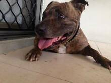 Free to good home - Beautiful Staffy X - Chubby Kewarra Beach Cairns City Preview