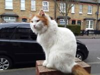 Male Cat Turkish Van Breed Ginger and White