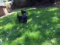 2 kc reg labrador pups contact me on 07715367771