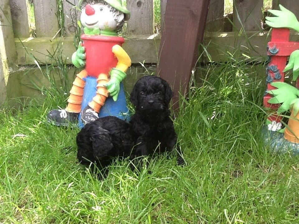 Stunning F1 Cockapoo puppies