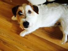 LOST JACK RUSSELL Kearns Campbelltown Area Preview