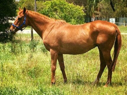 Stakes producing Tb broodmare infoal