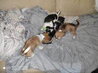 Stunning 8 week old miniature Shichis puppies