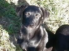 Kelpie Puppies for Sale Trentham Hepburn Area Preview