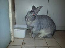 Grey male rabbit Holden Hill Tea Tree Gully Area Preview