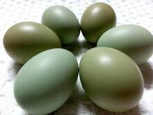 Easter Egger Hatching Mix Fertile, Blue, Green, Sage, Olive. Pine Mountain Ipswich City Preview
