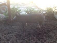Purebred Berkshire  boar Cranbrook Cranbrook Area Preview
