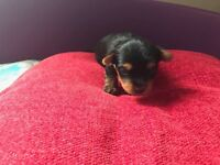 Yorkshire Puppies For Sale