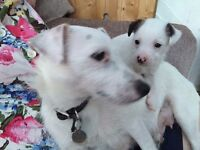 Jack Russell puppies for sale £225 (bitch and dog)