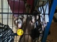 2 Ferrets and cage