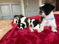 Gorgeous shih tzu pups for sale.