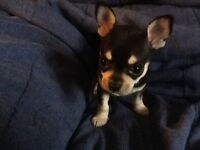 Apple dome head chihuahua (SOLD)