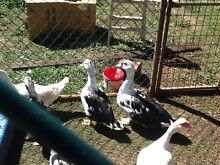Young hens and roosters and ducks Ebor Guyra Area Preview
