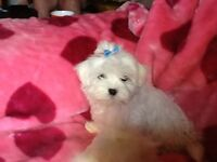 RE ADVERTISED DUE TO TIMEWASTER *****STUNNING MALTESE PUPPY******