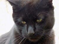 Missing black cat theo