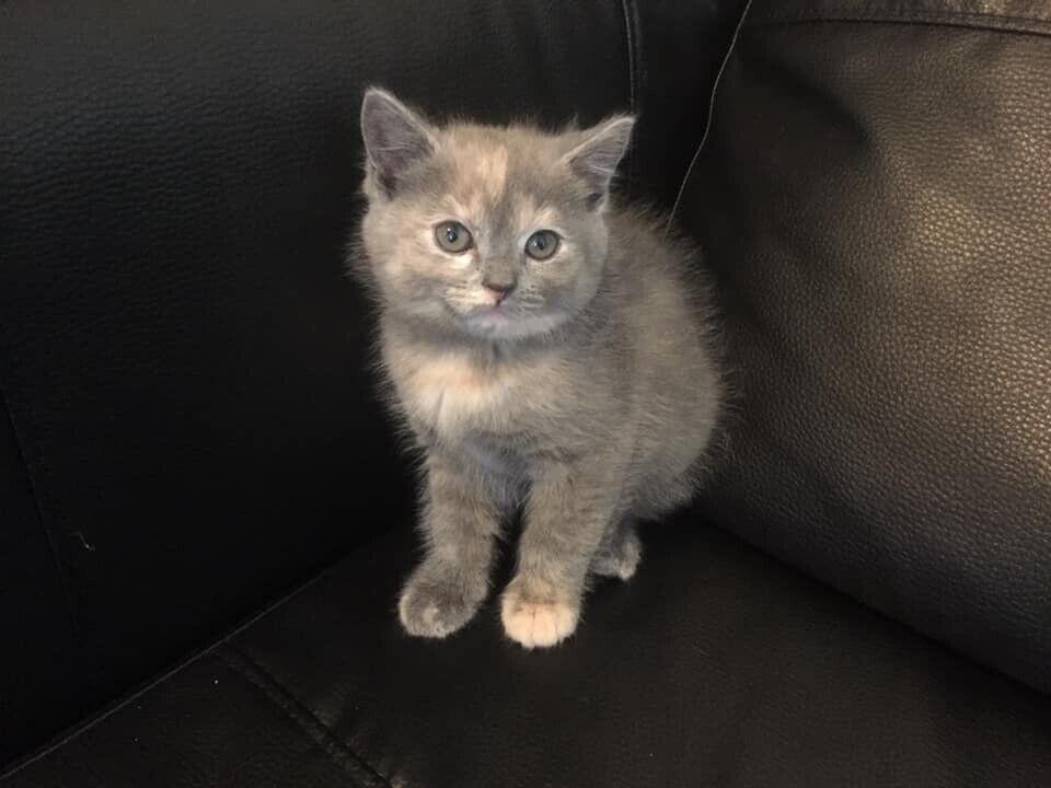 Ragdoll X British Shorthair Kittens In West Drayton London Gumtree