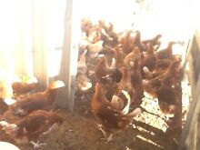 Chickens hy-line brown 18 weeks old Thornton Maitland Area Preview