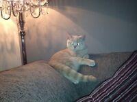 SOLD SOLD SOLD British Shorthair Cream Cat