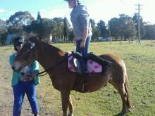 Welsh Mountain Pony Newcastle Area Preview