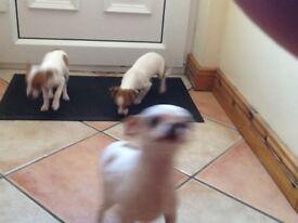 Miniature jackrussel pups