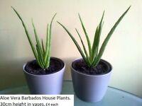 Aloe Vera Barbados Plants