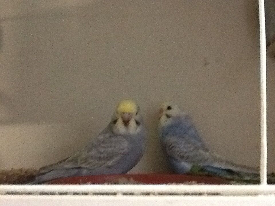 Hand tame budgies
