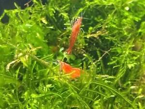 Big size adult cherry shrimps Noble Park Greater Dandenong Preview